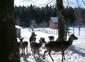 les biches du Rondé dans la forêt de Levier