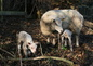 Les agneaus 2010