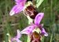 Au royaume des orchidées sauvages