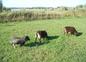 Nos moutons de Soay