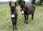 Les ânes (Grand Noir du Berry)