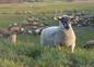 Les moutons de Normandie